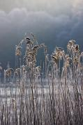 Cold Temperature Metal Prints - Frozen Reeds At The Shore Of A Lake Metal Print by John Short