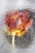 Hildingsson Prints - Frozen tulip 3 Print by Johnny Hildingsson