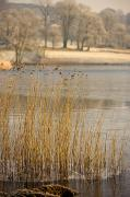 Featured Metal Prints - Frozen Water Around Reeds At Shoreline Metal Print by John Short