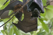 Roosting And Resting Prints - Fruit Bats Roosting In A Tree Print by Randy Olson