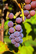Vine Grapes Prints - Fruit Of The Vine - Grapes Print by John Stephens