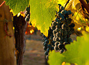 Grape Vines Metal Prints - Fruit of the Vine Metal Print by Bill Gallagher