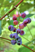 Concord Grapes Metal Prints - Fruit of the Vine Metal Print by Kristin Elmquist