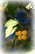 Vine Leaves Posters - Fruit of the Vine Vignetted Poster by Suzanne Gaff
