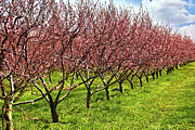 Blooming Trees Posters - Fruit orchard Poster by Elena Elisseeva