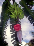 Banana Tree Photos - Fruitful Beauty by Karen Wiles
