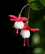 Fuchsia Photos - Fuchsia by Angie Vogel