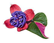 Susan Leggett Prints - Fuchsia Blue Eyes on White Print by Susan Leggett