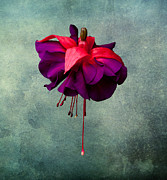 Deep Purple Prints - Fuchsia Print by Dawn OConnor