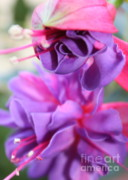 Flower Macro Prints - Fuchsia Drama Print by Carol Groenen
