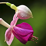 Raindrop Photos - Fuchsia flower by Elena Elisseeva