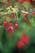 Fuchsia Photos - Fuchsia Flowers by David Nunuk