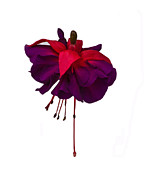 Fushia Art - Fuchsia on White by Dawn OConnor