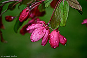 April Showers Posters - Fuchsia Rain Drops Poster by Susan Herber