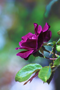 Rose Petals Prints - Fuchsia Rose in Bloom Print by Bill Tiepelman