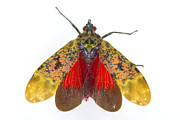 Fulgorid Planthopper Costa Rica Print by Piotr Naskrecki