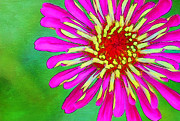 Zinnia Elegans Framed Prints - Fun Framed Print by Darren Fisher
