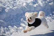 Maltese Photos - Fun in the Snow by Lisa  DiFruscio