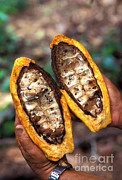 Witches Broom Prints - Fungal Infection Of Cacao Print by Science Source
