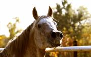 White Horse Photographs Greeting Cards Prints - Funny Scamp Print by El Luwanaya Arabians