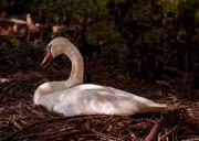 Nesting Photos - Furman University Swan II by Gary Adkins