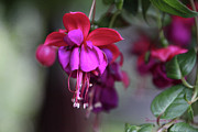 Sooc Prints - Fuschia Print by EricaMaxine  Price