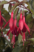 Fushia Photo Metal Prints - Fuschia Flower Metal Print by George Grall