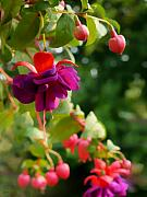 Fuschia Photo Prints - Fuschia Print by Jeff Breiman