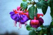 Plant Acrylic Prints - Fuschia  by Kimberly Gonzales