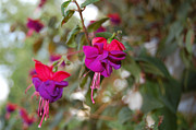 Fushia Photos - Fushia by E M Nagy