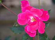 Fushia Photos - Fushia Knockout Rose by Rod Ismay