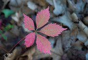 Fushia Photo Metal Prints - Fushia Leaf 2 Metal Print by Douglas Barnett