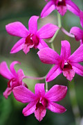 Fushia Prints - Fushia Orchids Print by Reflections by Amanda Martin