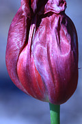 Fushia Photo Posters - Fushia Tulip Poster by Donna Corless