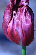 Fushia Tulip Print by Donna Corless