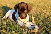 Shorthaired Photos - Future Shed Hunter by Brook Burling