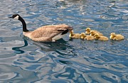 Mother Goose Photo Posters - Fuzzy Babies Poster by Diana Nigon