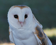 Barn Owls Prints - Fuzzy Face Print by Adele Moscaritolo