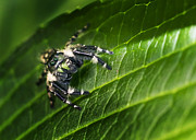 Sue Baker Art - Fuzzy Jumping Spider by Sue Baker