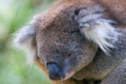 Koala Photos - Fuzzy by Mike  Dawson