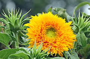 Fuzzy Sunflower Print by Becky Lodes