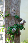 Beard Prints - Fuzzy Wuzzy Clematis Vine Print by Andee Photography