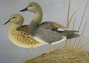 Pair Drawings Prints - Gadwall Duck Pair On Grass Print by Alan Suliber