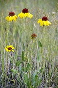 Gaillardia Photos - Gaillardia Aristata by Bob Gibbons