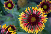 Blanket Mixed Media Prints - Gaillardia Flower Print by Linda Gardner-Goos