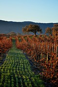 Wine Vineyard Photo Originals - Gainey Vinyards by Matt MacMillan