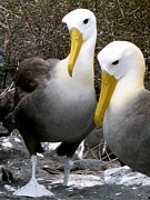 Waved Albatross Photos - Galapagos Albatross by Eva Kaufman