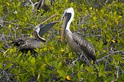 Breeding Posters - Galapagos Brown Pelican Poster by Bob Gibbons