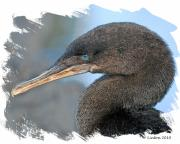 Galapagos Metal Prints - Galapagos Flightless Cormorant Metal Print by Larry Linton