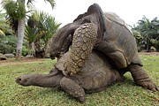 Long-lived Photos - Galapagos Giant Tortoises Mating by Ria Novosti